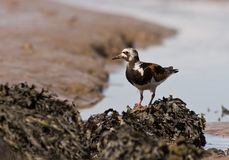 A Ruddy Turnstone close-up Royalty Free Stock Photos