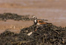 A Ruddy Turnstone close-up Stock Images