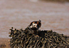 A Ruddy Turnstone close-up Royalty Free Stock Image