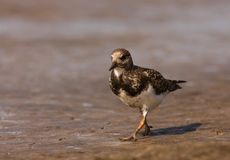 A Ruddy Turnstone close-up Royalty Free Stock Photography