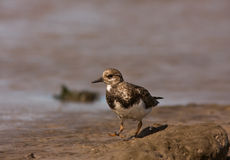 A Ruddy Turnstone close-up Stock Image