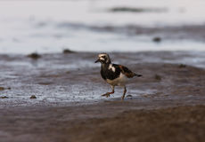 A Ruddy Turnstone close-up Royalty Free Stock Photo