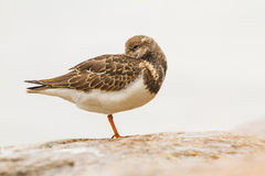 A Ruddy Turnstone close-up Stock Photo