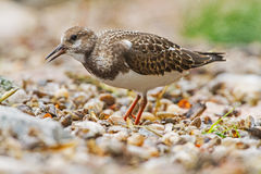 A Ruddy Turnstone close-up Stock Photos