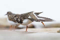 A Ruddy Turnstone close-up Stock Photography