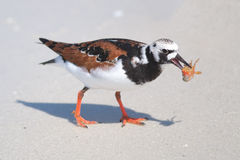 Ruddy Turnstone Eating