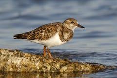 Ruddy Turnstone in fall plumage - St. Petersburg, Florida