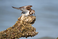 Ruddy Turnstone Feeding on a Barnacle-Covered Log Stock Photography
