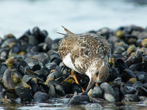 Ruddy Turnstone Feeding on Mussels Royalty Free Stock Photo