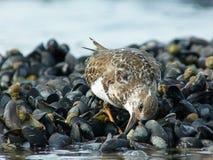 Ruddy Turnstone Feeding on Mussels Royalty Free Stock Photo