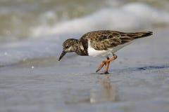 Ruddy Turnstone forageant sur une plage de la Floride Photographie stock