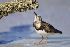 Ruddy Turnstone Foraging for Barnacles Stock Photo