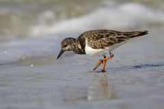 Ruddy Turnstone foraging on a Florida beach Stock Photography