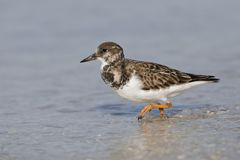 Ruddy Turnstone foraging in shallow water - Fort DeSoto, Florida. Ruddy Turnstone Arenaria interpres foraging in shallow water - Fort DeSoto, Florida Royalty Free Stock Images