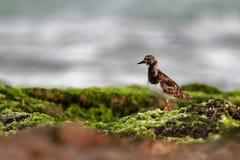 Ruddy Turnstone - interpres d'arénaire alimentant sur les falaises herbeuses sur le bord de la mer photographie stock