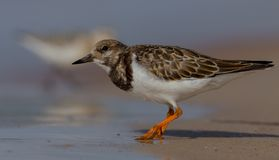 Ruddy Turnstone - interpres do arenário Fotografia de Stock