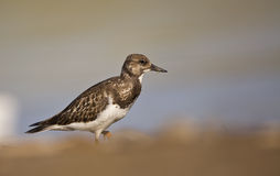 Ruddy Turnstone Royalty Free Stock Image