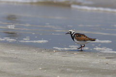 Ruddy Turnstone moulting into spring plumage on a Texas Beach Royalty Free Stock Photography