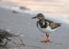 Ruddy Turnstone na praia Imagem de Stock