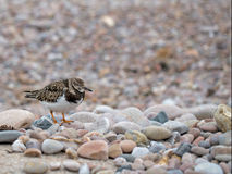 Ruddy turnstone in non breeding plumage. Royalty Free Stock Photo