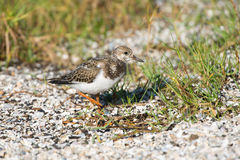 Ruddy Turnstone, Queensland, Australia Stock Images
