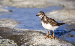 Ruddy Turnstone on Rock Royalty Free Stock Photo