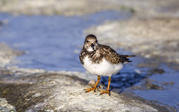 Ruddy Turnstone on Rock Stock Images