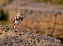 Ruddy Turnstone on rocks Royalty Free Stock Photography