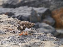 A Ruddy turnstone on the rocks Royalty Free Stock Photos