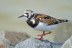 Ruddy Turnstone on Rocks. Stock Photos