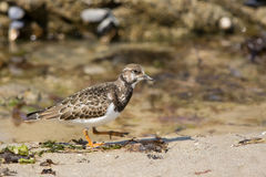 Ruddy turnstone Stock Images