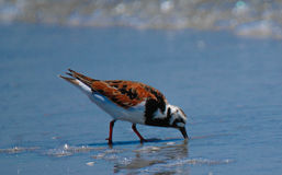 Ruddy Turnstone. Rudy Turnstone in the surf Royalty Free Stock Photo