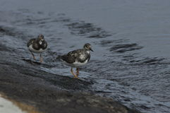 Ruddy Turnstone, running along the sea Royalty Free Stock Photos