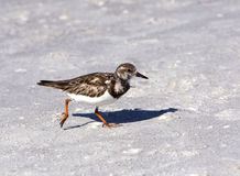 Ruddy Turnstone (Arenaria interpres) Stock Image