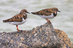 Ruddy Turnstone Sandpipers Royalty Free Stock Photography