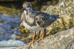 Ruddy Turnstone. Searching for dinner on the rocks Royalty Free Stock Image