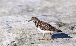 Ruddy Turnstone and Shadow Royalty Free Stock Photo