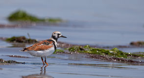 Ruddy Turnstone at shore Royalty Free Stock Photo