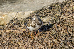 Ruddy Turnstone. Shore bird at the shore foraging for food Stock Photography