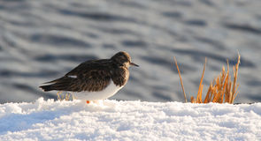 Ruddy Turnstone in snow Royalty Free Stock Photos