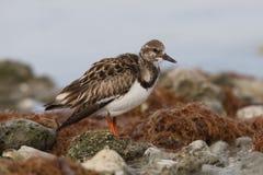 Ruddy Turnstone som söker efter föda bland något, vaggar på en strand - Dunedin, arkivbilder