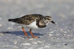 Ruddy Turnstone som söker efter föda på en stenig strand - Florida royaltyfri fotografi