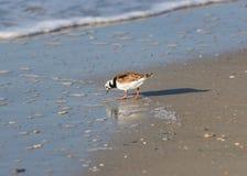 Ruddy Turnstone sulla spiaggia fotografia stock