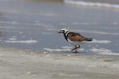 Ruddy Turnstone sur une plage - péninsule de Bolivar, le Texas Photos stock