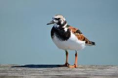 Ruddy Turnstone-Vogel stockfotos
