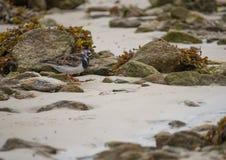 Ruddy Turnstone-Vogel in der Farbe im Tageslicht auf Sand im Sommer lizenzfreie stockfotos