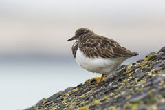 Closeup of a Rubby turnstone Arenaria interpres wading bird fora Stock Images