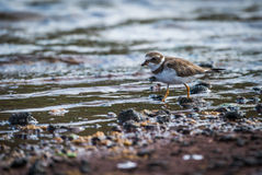 Ruddy turnstone wading through shallow rock pool Royalty Free Stock Images