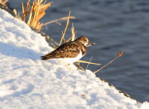 Ruddy Turnstone in winter Royalty Free Stock Photo