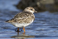 Ruddy turnstone young that stands in water sunny autumn Stock Image